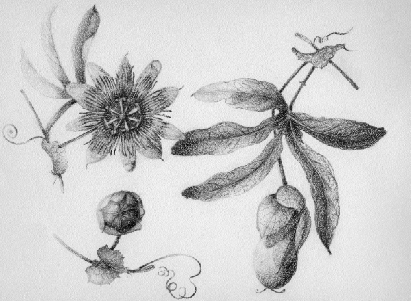 passion flower illustration