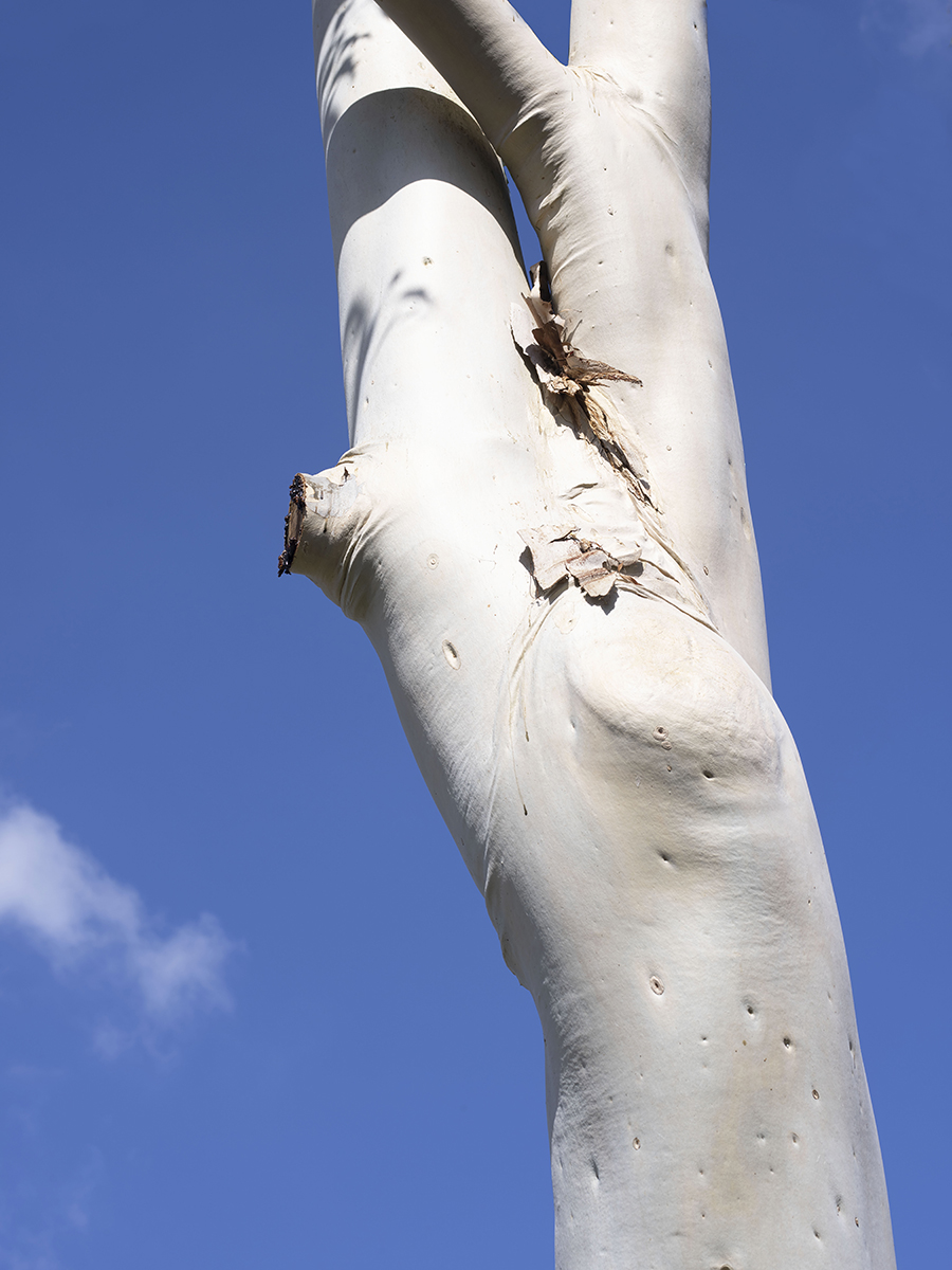 Image of eucalyptus tree trunk notch with blue sky in background.