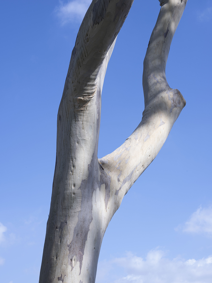 Image of a branching eucalyptus tree trunk with blue sky in background.