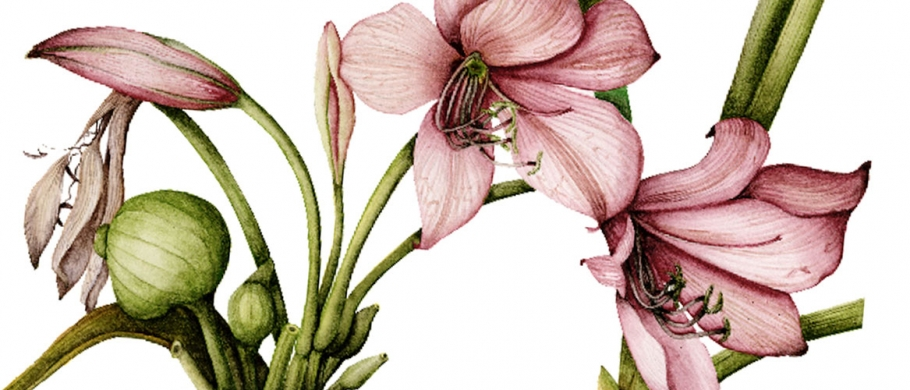 illustration of a lily by Olga Eysymontt