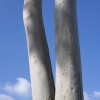 Image of dual eucalyptus tree trunks with blue sky in background.